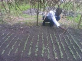 Hosea thinning seedlings