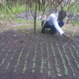 Hosea thinning seedlings